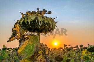 Beautiful sunflower at sunset. Sunflower close up at sunset with beautiful sky and the sun. Organic sunflower at sunset close up with a beautiful background
