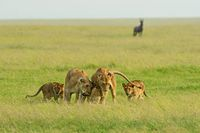 Lion Family of five, Maasai Mara National Reserve, Kenya, Africa