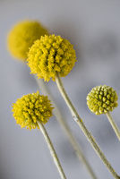 Craspedia sp. , Asteraceae, Compoisitae from Australia, yellow sphere-shaped flowerheads