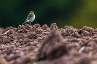 Common wheatear (Oenanthe oenanthe)