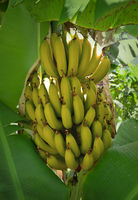 banana tree musaceae monocotyledons perennial fruit tree growing yellow