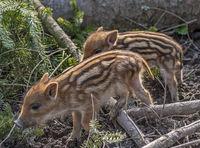 wild boar piglets 'Sus scrofa'