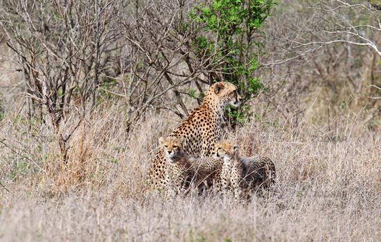 cheetah family at Kruger National Park, SA