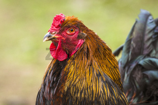 Close-up of a rooster in the spring