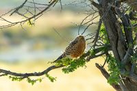 Greater kestrel, Etosha, Namibia safari wildlife