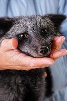 female hand caresses the little fox