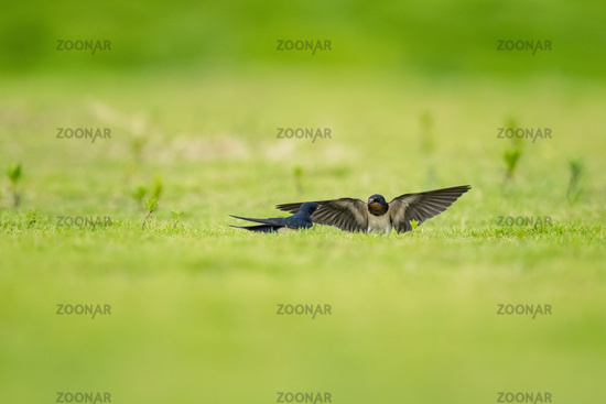 cute swallow on grass