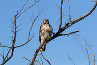 Red-tailed Hawk (Buteo jamaicensis) - Bosque del Apache National Wildlife Refuge, New Mexico