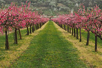 Blooming peach orchar in spring time
