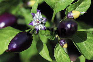 Macro view of a pepper blossom growing between purple fruit