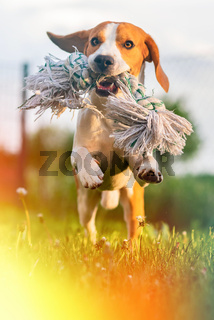 Dog Beagle running and jumping with a toy