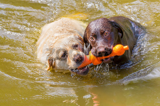 Two labrador dogs with toy swimming in water