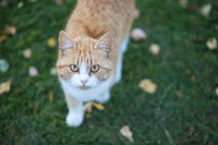 Ginger cat on green grass with yellow leaves.