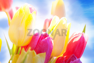 Close Up Of Sunny Tulip Flower Meadow With Waterdrop And Blue Sky