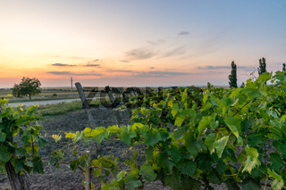 Beautiful Vineyard rows at sunset with trees in the background in Europe. Vineyards at sunset with beautiful sky