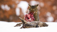 Hungry european wildcat feeding on snow in winter.