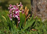 Gartenhyazinthe, Hyacinthus orientalis, garden hyacinth