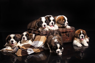 St. Bernard Puppies