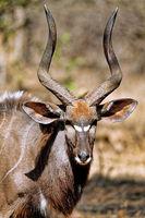 Nyala, male, Majete Wildlife Reserve, Malawi, (Nyala angasi)