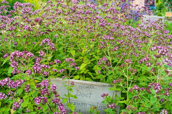 Flowering Dost