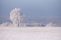 Lonely birch tree in the field. Frozen birch trees covered with hoarfrost and snow.