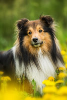 Sheltie dog in a spring flower meadow