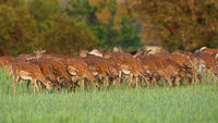 Fallow deer herd feeding on pasture in spring nature