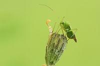 Grass bug (Orthotylus flavinervis)