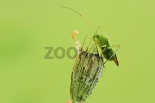 Weichwanze (Orthotylus flavinervis)