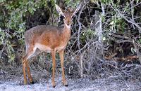 Damara Dik-Dik, Etosha National Park, Namibia, (Madoqua damarensis)