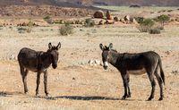 donkey in desert near Brandberg mountain, Namibia