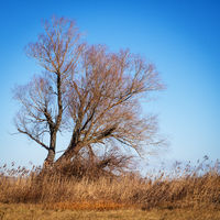 Willow tree on lake neusiedlersee in Burgenland