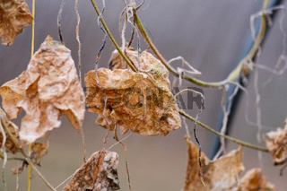 Withered dry cucumber leaves close up in a greenhouse