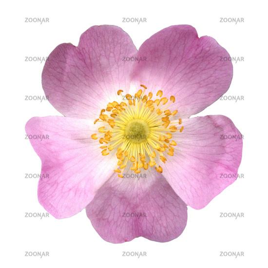 Rosehip or dog rose, Rosa canina