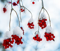 Viburnum red berries with snow covered - bright decoration of winter forest