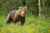 Brown bear standing on blooming glade in spring nature