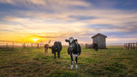 Cows at a Dairy Ranch Under the Sunset