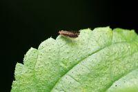 Fruitfly on green leaf, Drosophilidae, Pune, Maharashtra, India