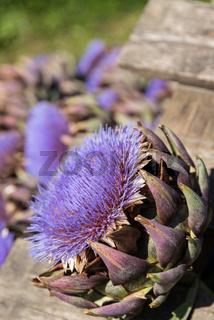 blühende Artischocke mit Artischockenherz - Heil- und Kulturpflanze