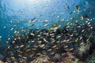 Schwalbenschwaenzchen ueber Korallenriff, Mexiko