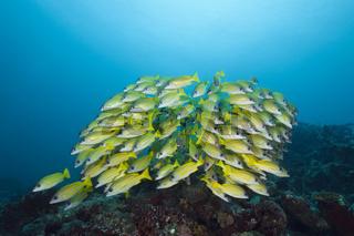 Schwarm Blaustreifen-Schnapper, Malediven