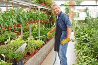 Gärtner gießt Pflanzen im Gewächshaus