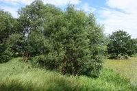 20200717_Salix alba, Silberweide, Silver Willow.jpg
