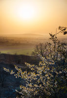 Cherry tree with blossoms at sunset in Burgenland