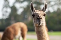 Portrait of a brown llama with a very long neck