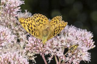 Argynnis paphia, Kaisermantel auf Wasserdost