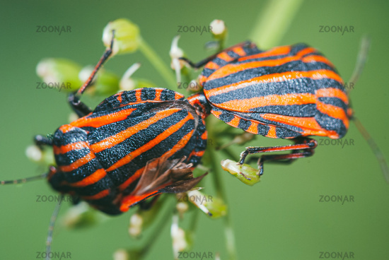 Graphosoma lineatum. Two beetle minstrel breed sitting on a branch of a green plant. Selective focus macro with bokeh background