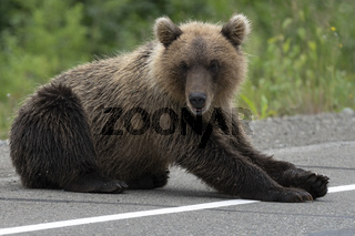 Kamchatka brown bear lies on asphalt road and arrogant looking at camera