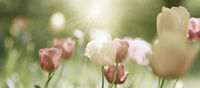 tulips, blooming, flowers, card, pastel, sepia, mourning, sadness, concept