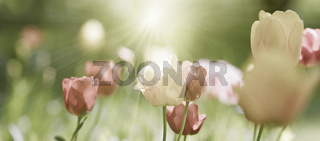 tulpen frühling sonne licht saison